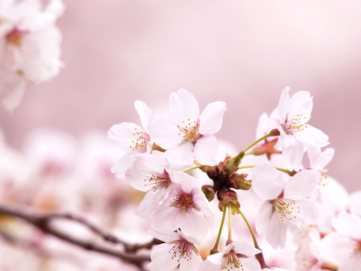 summer-cherry-blossomsnew.jpg