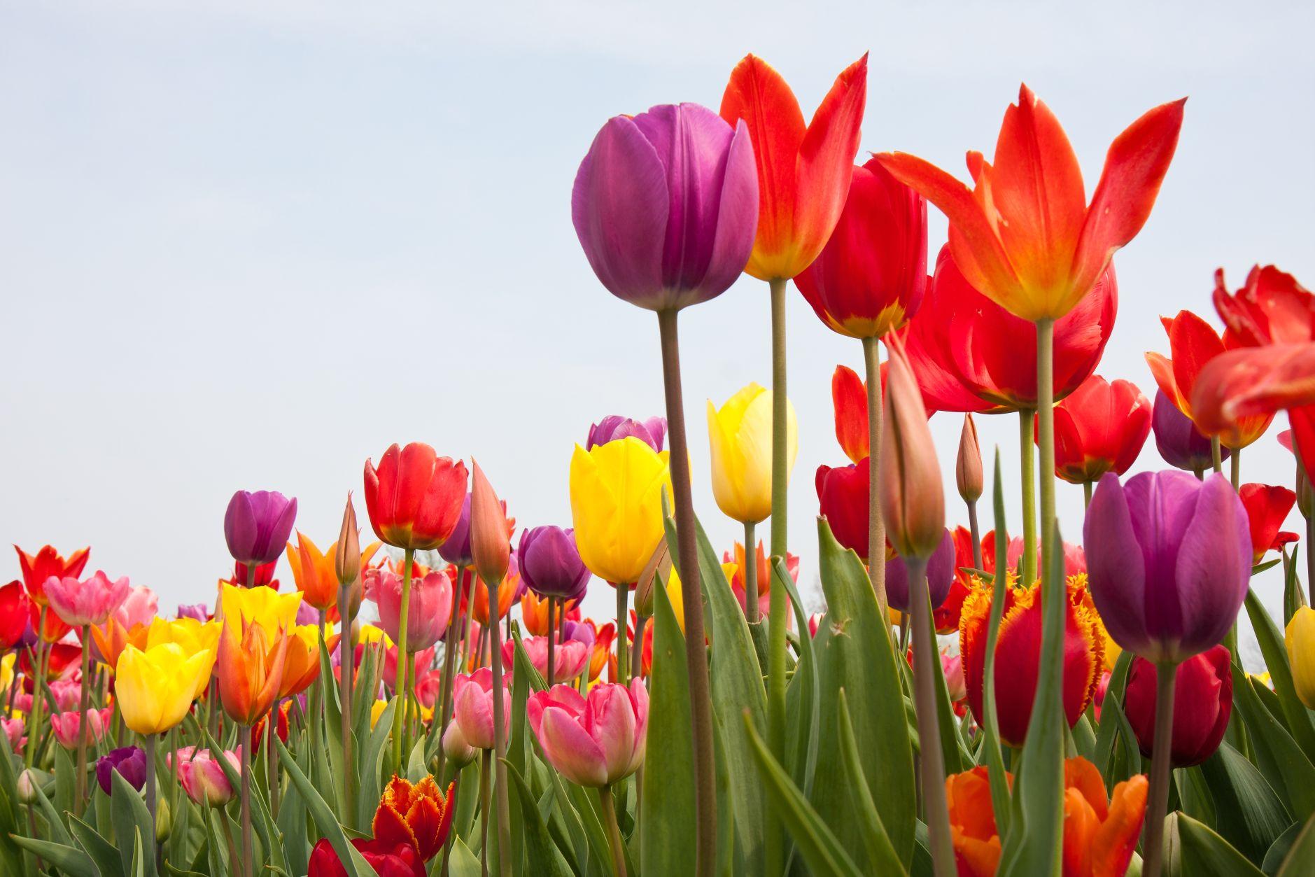 tulips-springnew.jpg